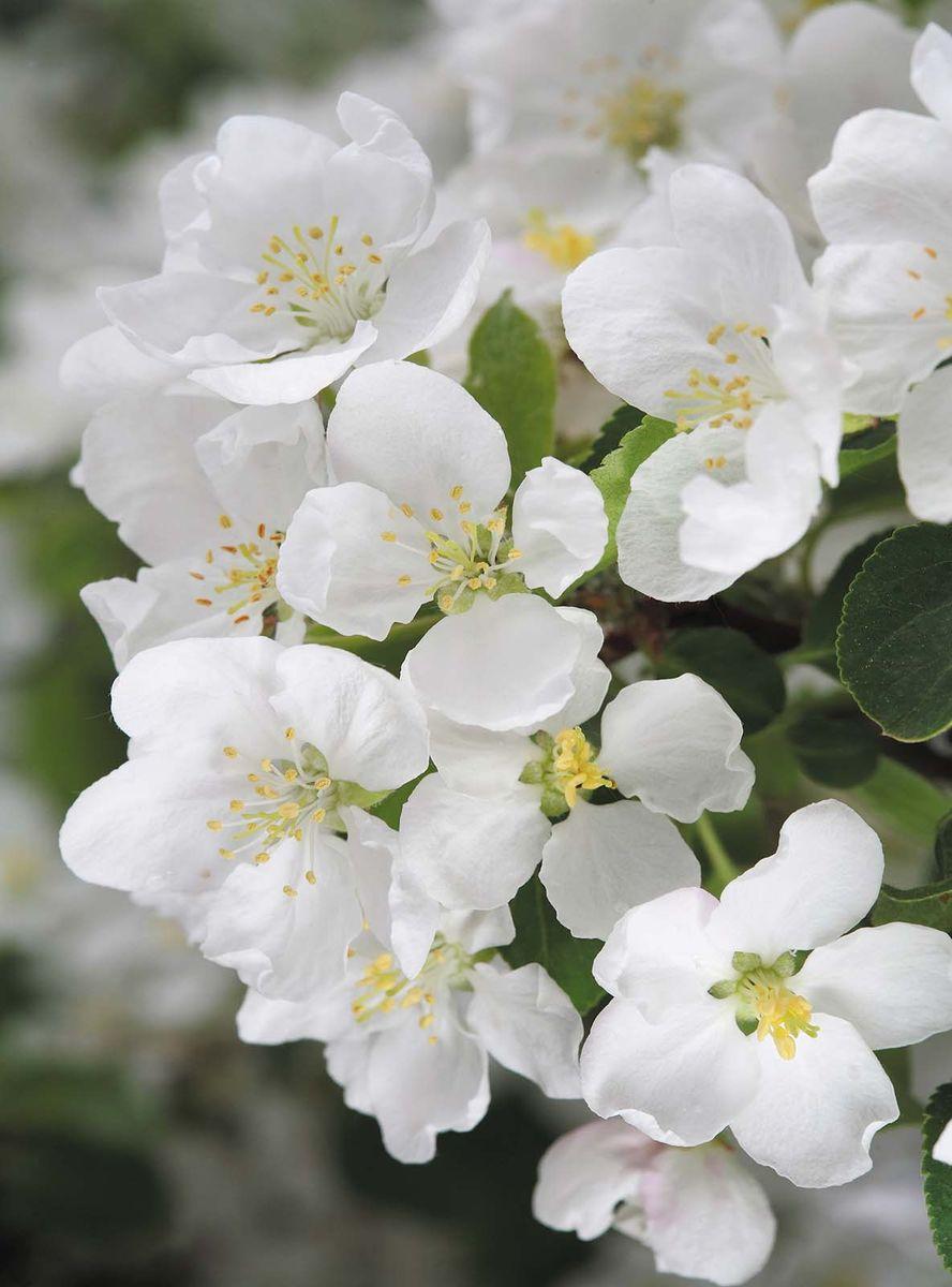 Лев картинки, картинки цветы яблони большое разрешение